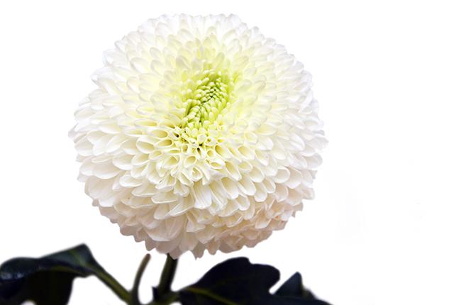 хризантема антонов фото